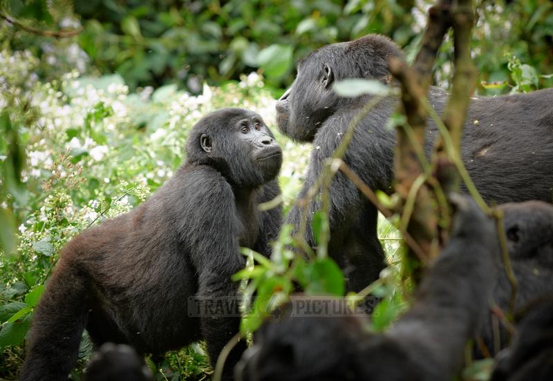mountain gorilla [Gorilla beringei beringei]