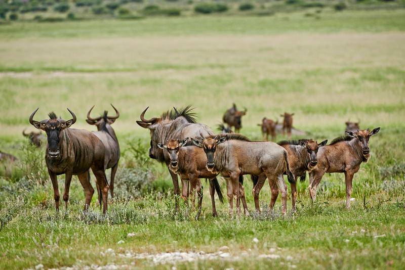 Streifengnus, Connochaetes taurinus |Blue wildebeests, Connochaetes taurinus|