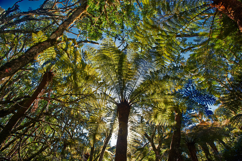 giant tree fern in Amboro National Park