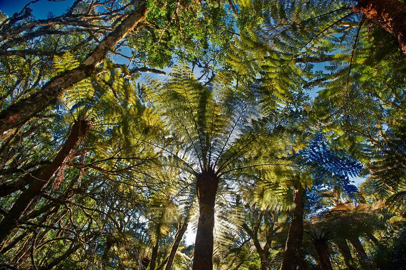 giant tree fern in Amboro National Park