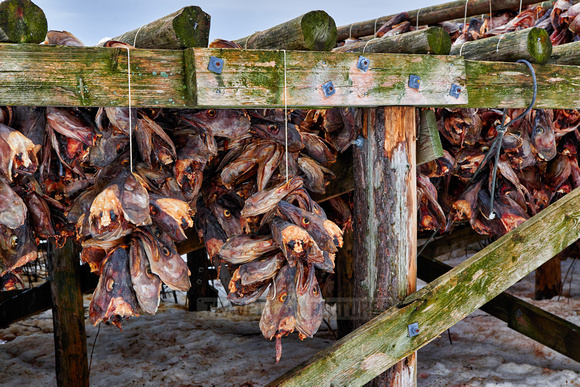 thousands of fishheads of Atlantic cod hanging to dry