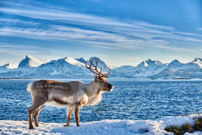 Reindeer at sea