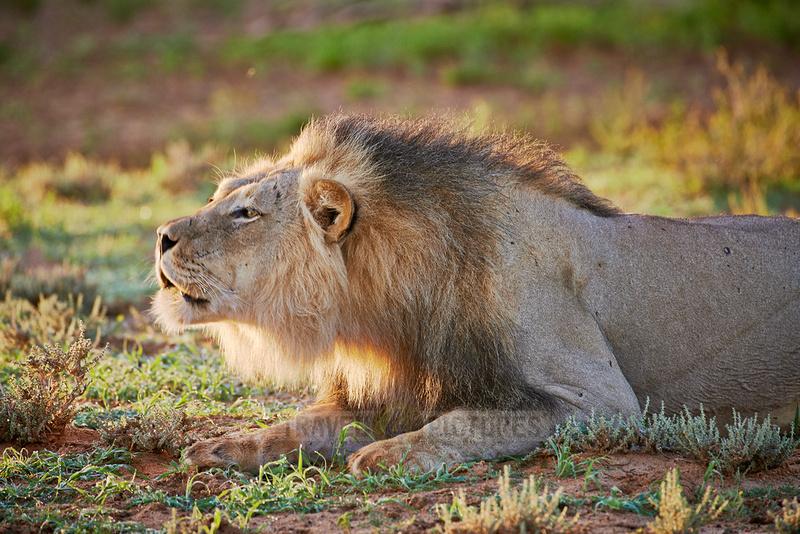 Loewe (Panthera Leo) |male lion (Panthera leo)|