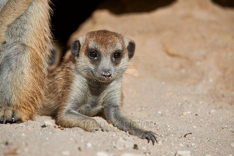 Erdmaennchen, Suricata suricatta  |meerkat or suricate, Suricata suricatta|