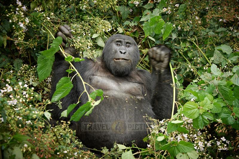 eating mountain gorilla [Gorilla beringei beringei]