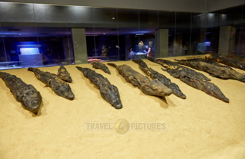 crocodile mummies