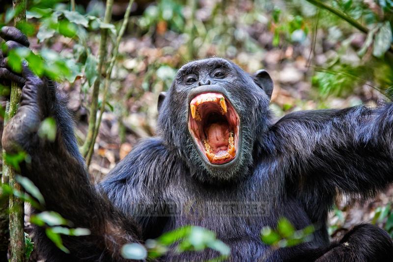screaming Common chimpanzee, Pan troglodytes