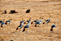 Black crowned cranes, Ngorongoro crater 10-2015