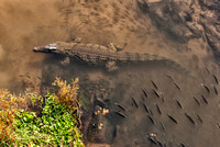 birds eye view from Crocodile in Crocodile River, Kruger National Park, South Africa