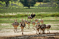 ostrich with chicks, Struthio camelus