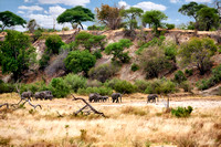 African bush elephants in Tarangire National Park