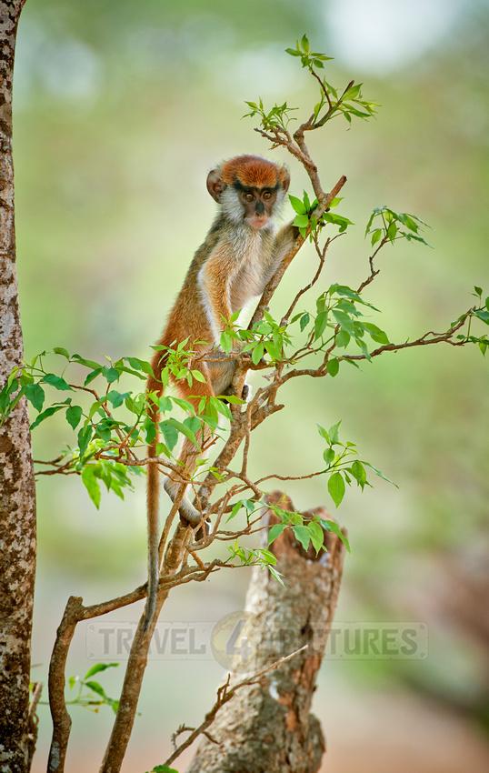 patas monkey or Hussar monkey