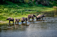 herd of African bush elephants, Boteti River