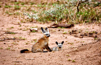 Bat-eared fox with youngster