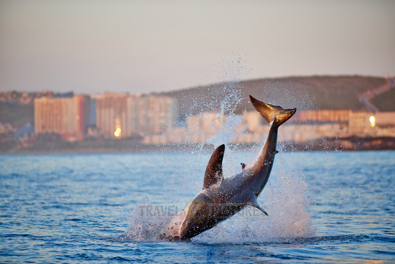 breaching great white shark, Carcharodon carcharias