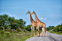 giraffes on road