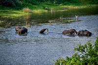 herd of African elephants take a bath in Boteti River